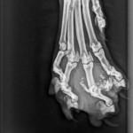 Röntgenbild Pfote Falstaff